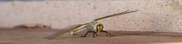 Dragonfly - Photo courtesy of DS1