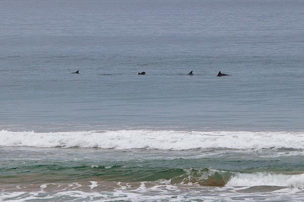 Dolphin pod at South Durras Beach