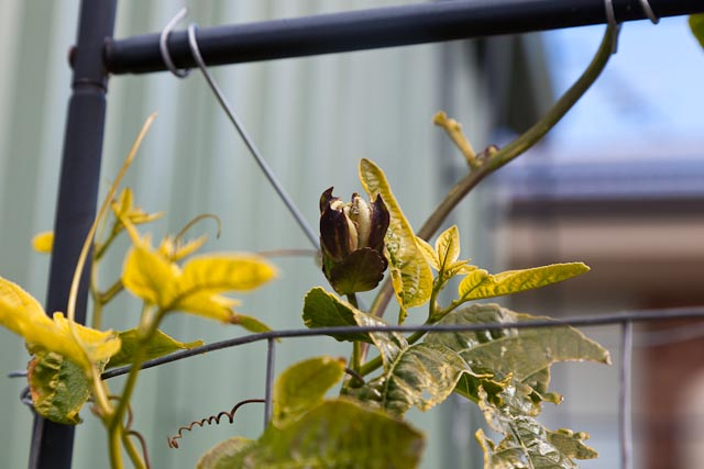First passionfruit flower, out of season!