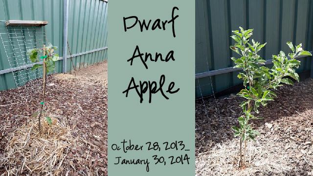 Dwarf Anna