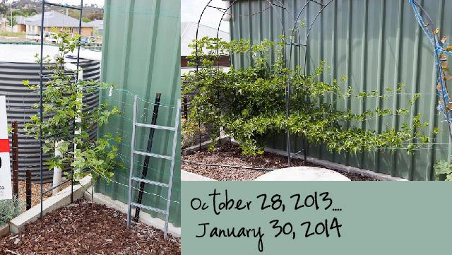 Passionfruit 3 months