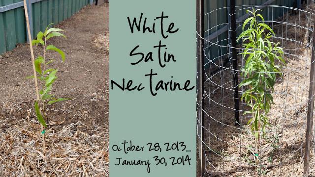White Satin Nectarine