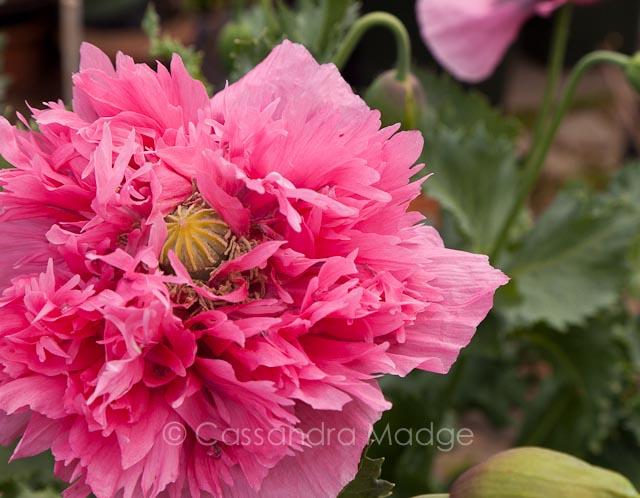 Tall pink poppy