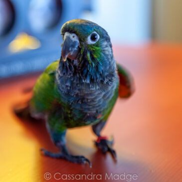 Introducing Kira the Conure